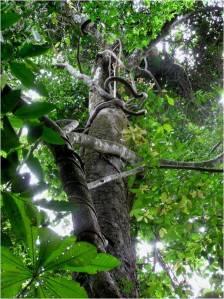 Trepadeiras na floresta tropical estão levando vantagem sobre as árvores.